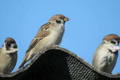 Can I Replace my Roof if There Are Birds Nesting There?